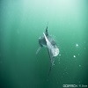 WHERE BABY WHITE SHARKS 'HANG OUT' IN THE NORTH ATLANTIC