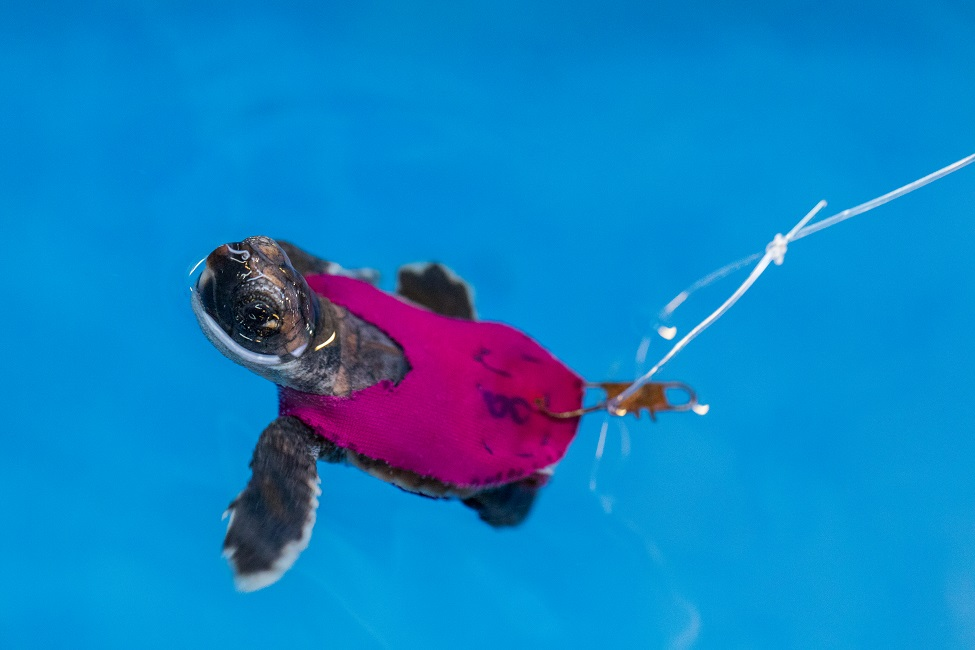 TINY TREADMILLS HELP TEST SEA TURTLE HATCHLING STAMINA